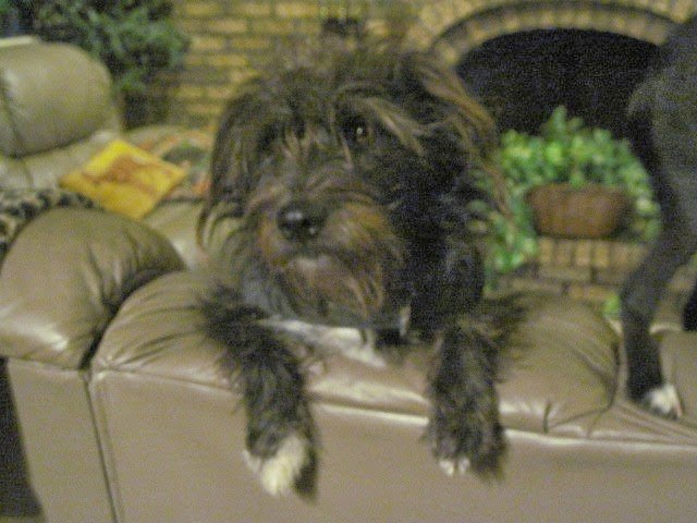 Mix Breed terrier