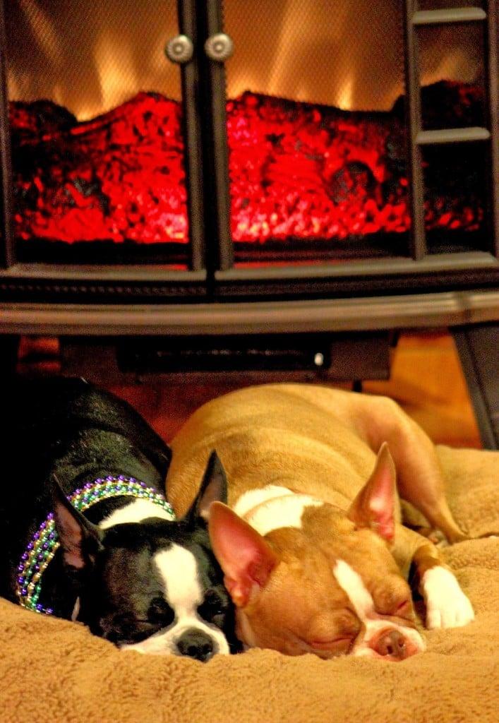 Boston terrier sisters